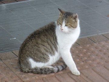 sumoto_cat