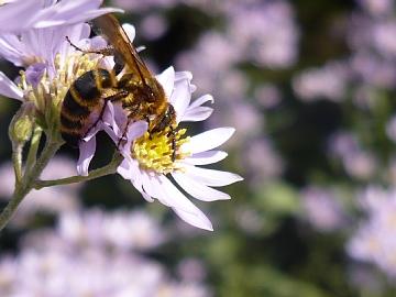 昭和記念公園のミツバチ