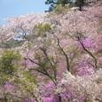 桜と三つ葉躑躅の競演