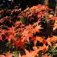 松の廊下跡の紅葉。