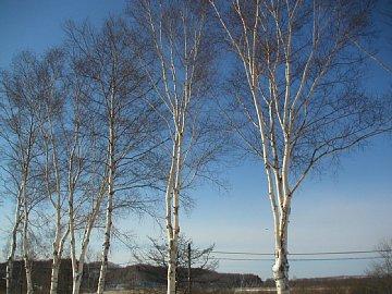 塘路湖のシラカンバ(冬)