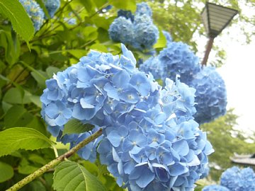 高田城の紫陽花