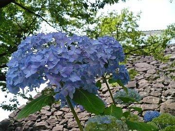 甲府城の紫陽花。
