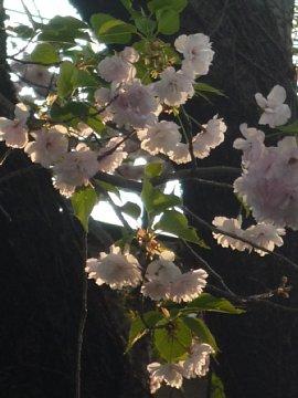 桜のカタチをしたランプみたい