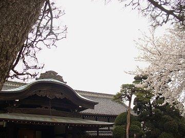 Kawagoejo_sakura